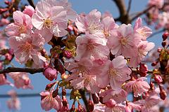河津桜(周防大島町小積)
