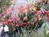 オーストラリア原産の花@元気村