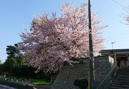 円明寺の桜