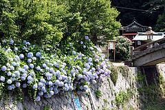 八田八幡宮の紫陽花