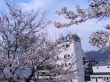 大観荘と桜