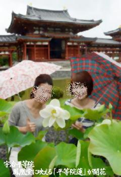 宇治・平等院:鳳凰堂に映える「平等院蓮」が開花