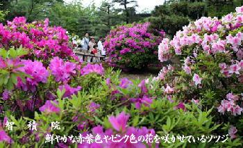 智積院:鮮やかな赤紫色やピンク色の花を咲かせているツツジ