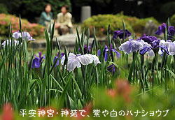 平安神宮・神苑「紫や白のハナショウブ」春