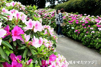 三室戸寺:「鮮やかな花を咲かせたツツジ」