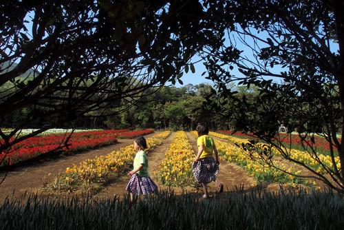 秘密のフリージア畑