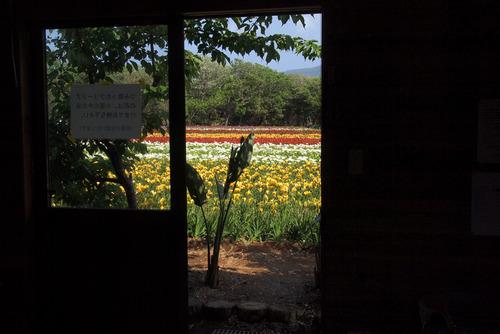 小屋からフリージア畑