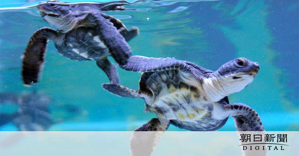 オーストラリア 若いウミガメの99%以上がメスの理由・・・