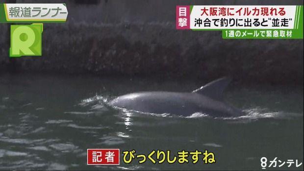 大阪湾に野生のイルカが居つく