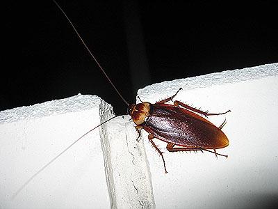 の ゴキブリ 沖縄