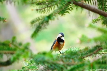 ヤマガラ(山雀)の写真