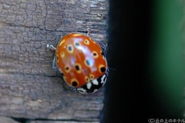ナミテントウ(紅型)の写真