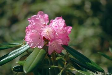 シャクナゲ(石楠花)の写真