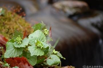ワサビ(山葵)の写真