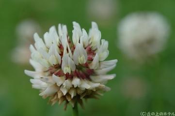シロツメクサ(白詰草)の写真