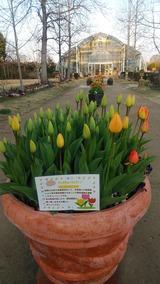 ice tulip IMG_20210308_171750