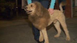moos-lion-dog