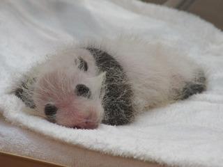 パンダの赤ちゃん@アドベンチャーワールド