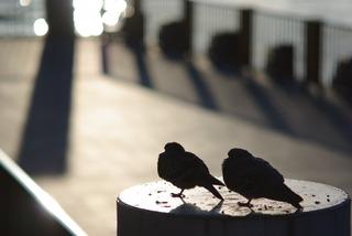 おしどり夫婦(土鳩です)