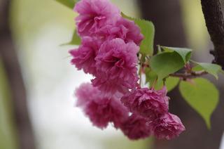 大阪造幣局通り抜け(松前琴糸桜)