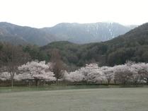 ⑩山の麓の満開の桜