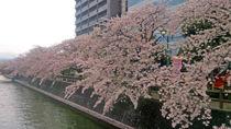 水門川沿いの桜①