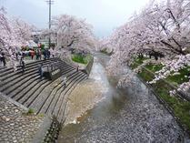 ⑥ 雨と強風で散った桜の花びら1