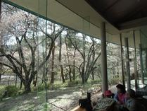 ⑧美術館よりの桜