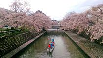 水門川沿いの桜②