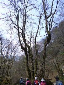 蛇谷ヶ峰 1 桂の大木