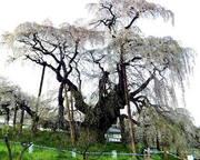 三春滝桜(福島県)