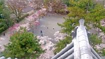 大垣城の桜②
