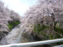 ⑦ 雨と強風で散った桜の花びら2