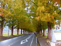 ④-3 メタセコイア並木