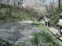 ⑤池に落ちた桜の花