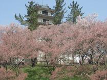 ②ピンク色のコヒガンサクラ