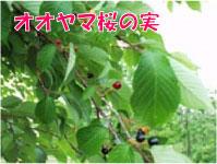 オオヤマ桜の実