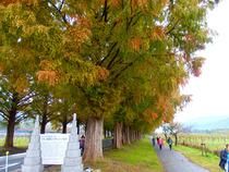 ④-4 メタセコイア並木
