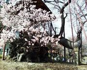 山高神代桜(山梨県)