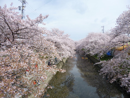① 五条川の染井吉野 桜