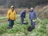雪の中小松菜収穫