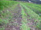 タマネギ除草後