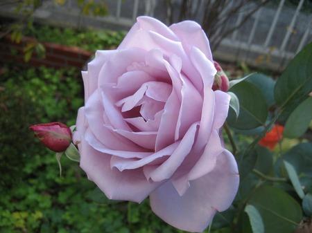 紫のバラ_20111126