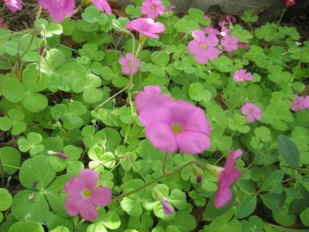 オキザリス_20091031_2