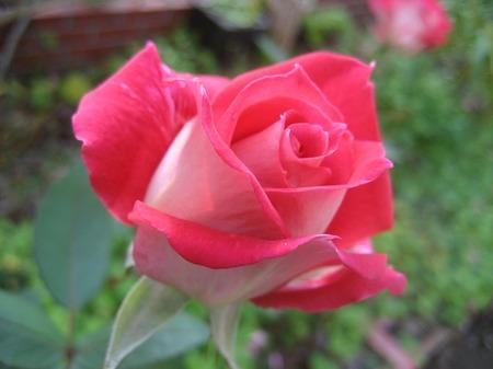 赤いバラ_20111126