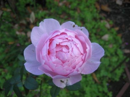 ピンクの薔薇_20101120