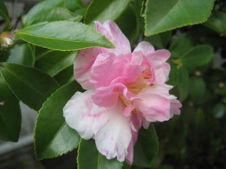 山茶花_20091031_1