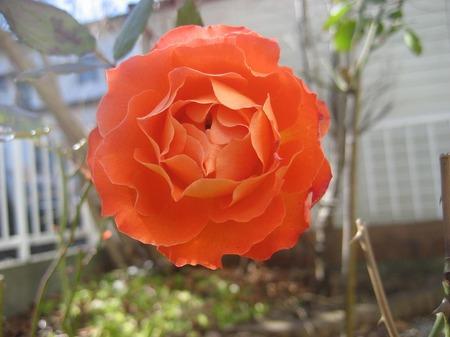 バラ_20110130
