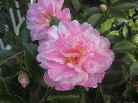 ピンクの山茶花_20111126
