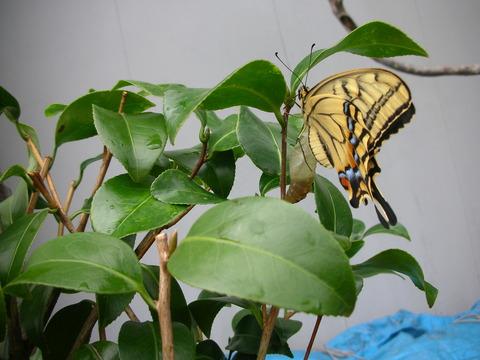 さなぎから蝶へ・・・